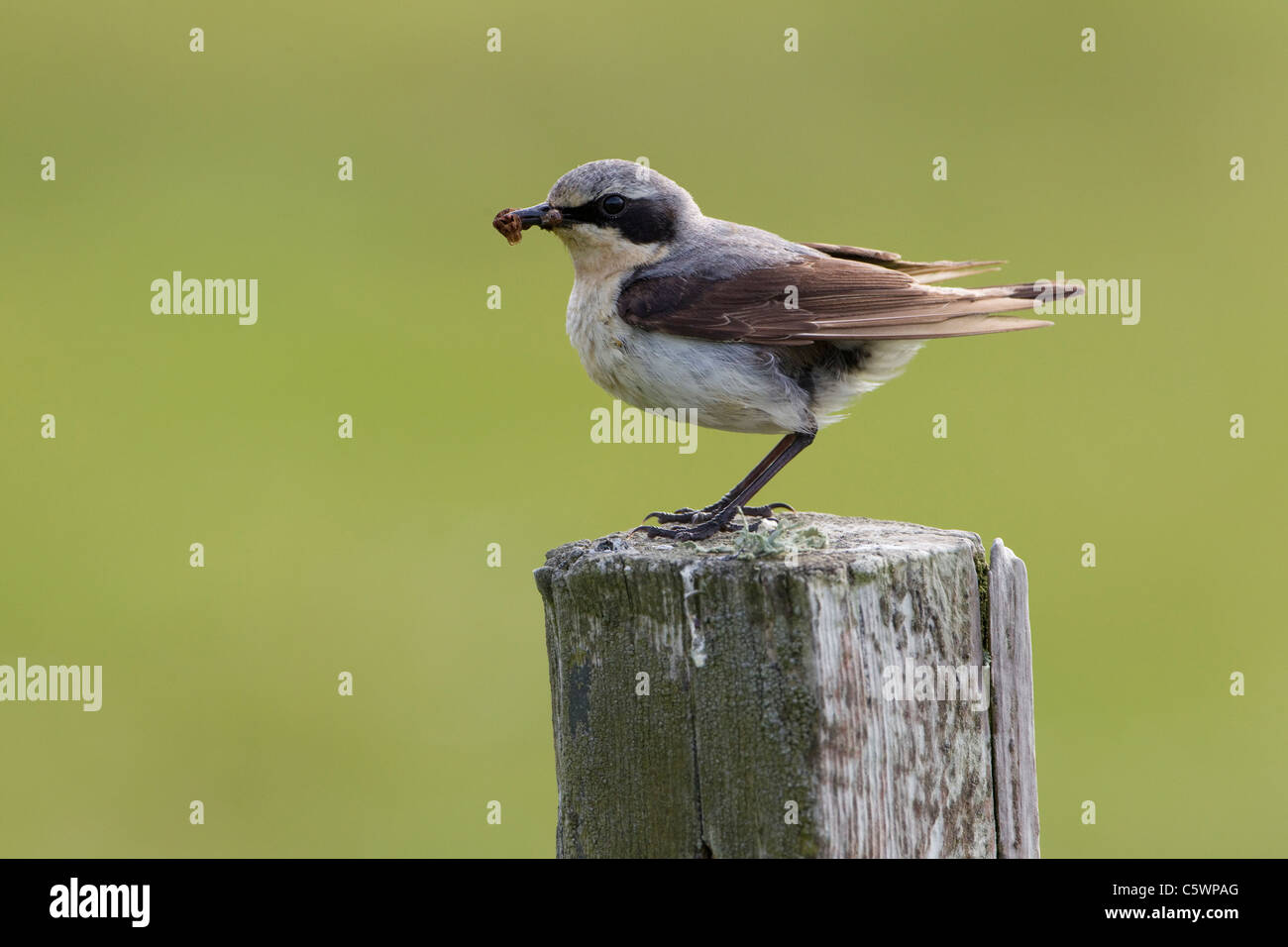 Northern Wheatear (Oenanthe oenanthe). Male perched on fence post with food for chicks. - Stock Image