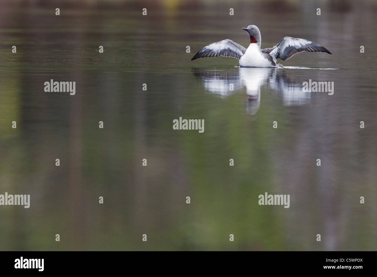 Red-throated Diver (Gavia stellata), adult wing-stretching on breeding loch in spring. Scotland, Great Britain. - Stock Image