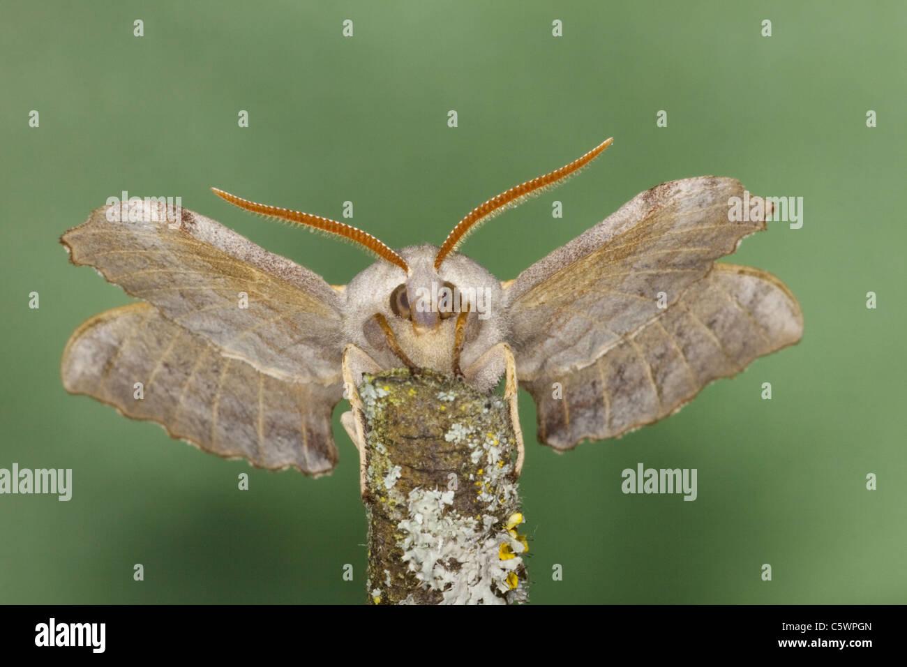 Poplar Hawk Moth Laothoe populi Essex, UK IN000940 - Stock Image