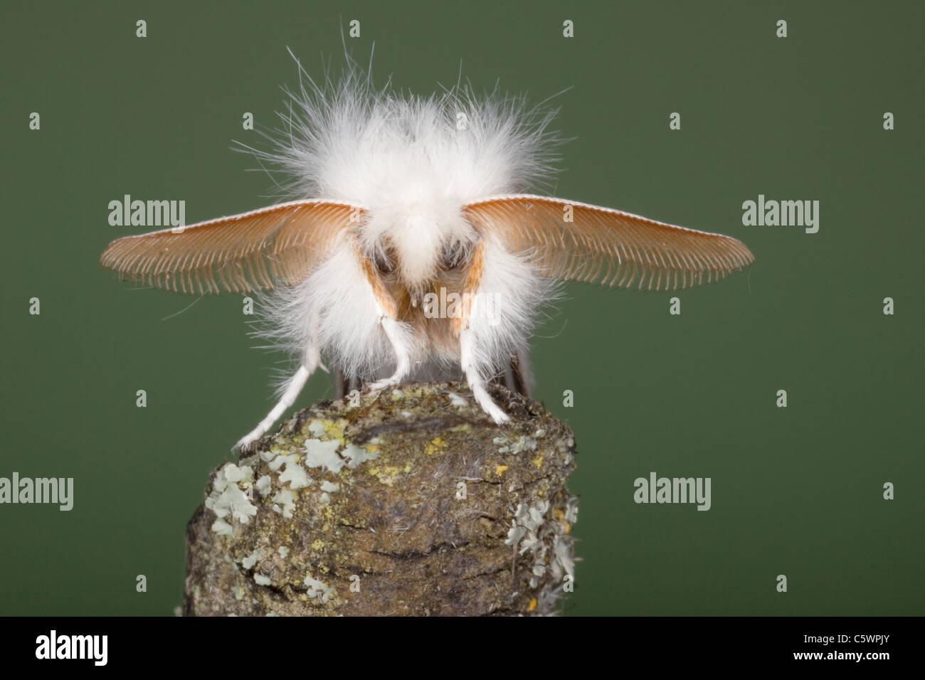 Brown-tail Moth - male showing antennae Pest species larvae causes urticae Euproctis chrysorrhoea Essex, UK IN000956 - Stock Image