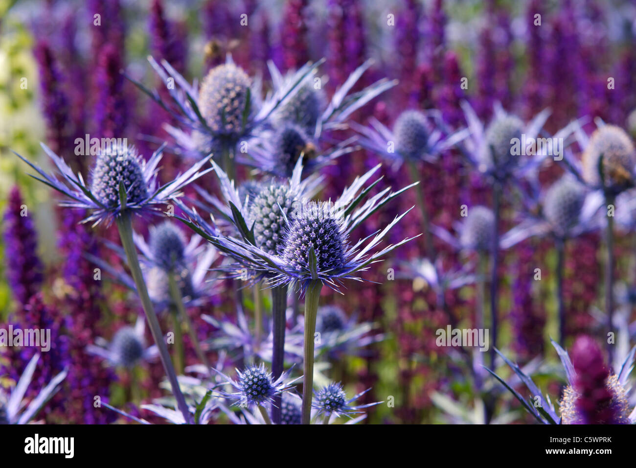 A Flower Bed In North Yorkshire Full Of Blue Thistle Like Sea Holly