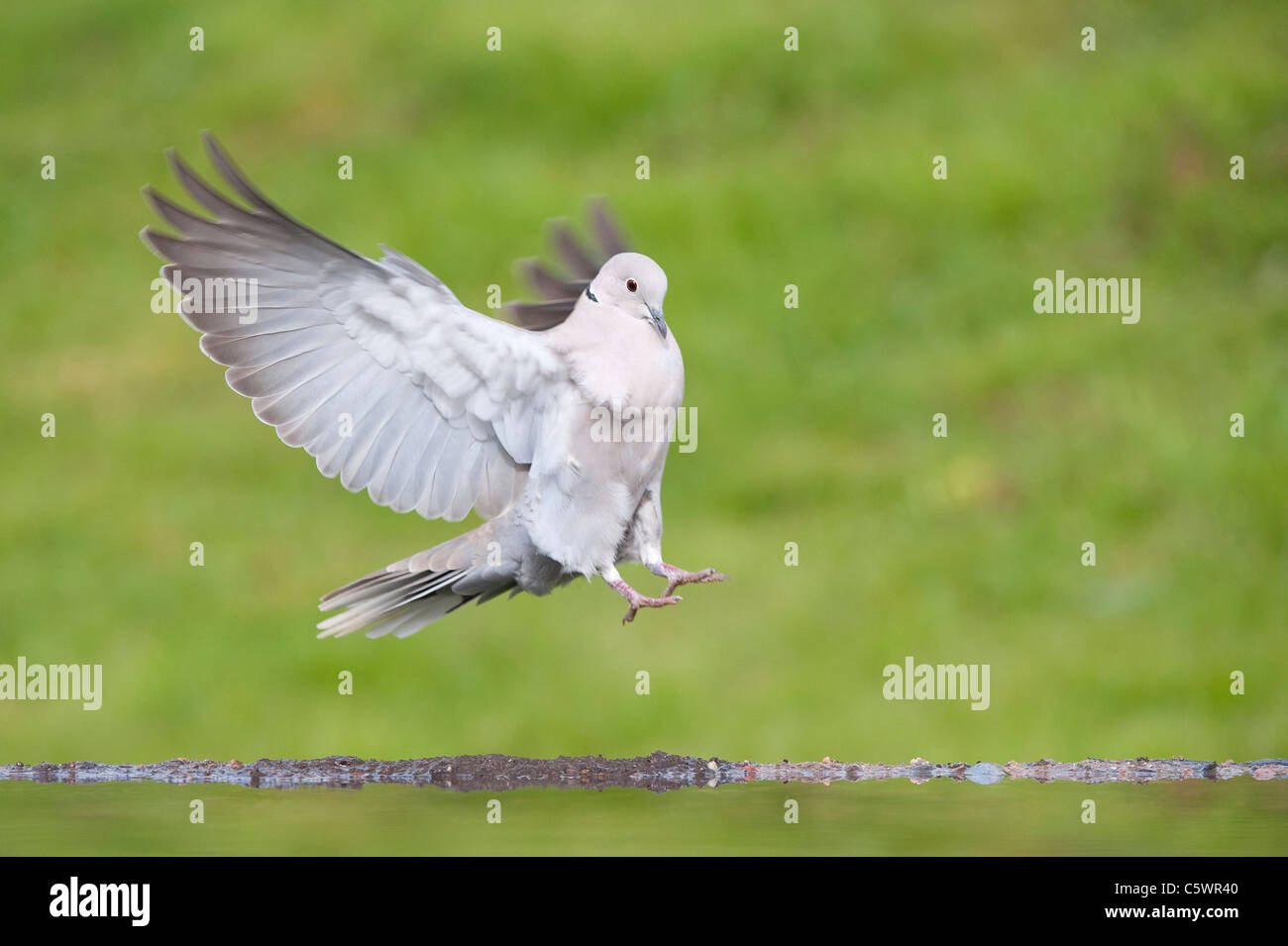 Eurasian Collared Dove (Streptopelia decaocto), adult alighting at garden pond. - Stock Image