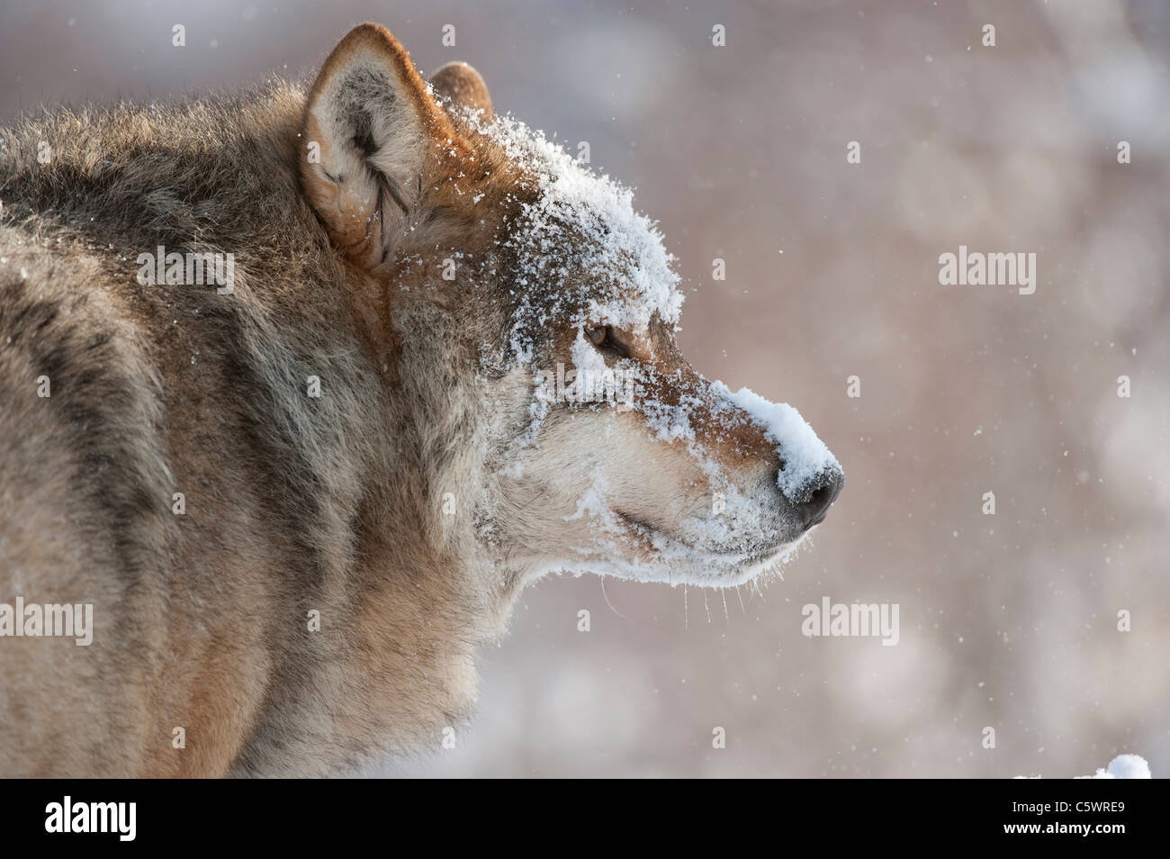 European Grey Wolf (Canis lupus), portrait of alpha male in winter (taken in controlled conditions). Norway. - Stock Image