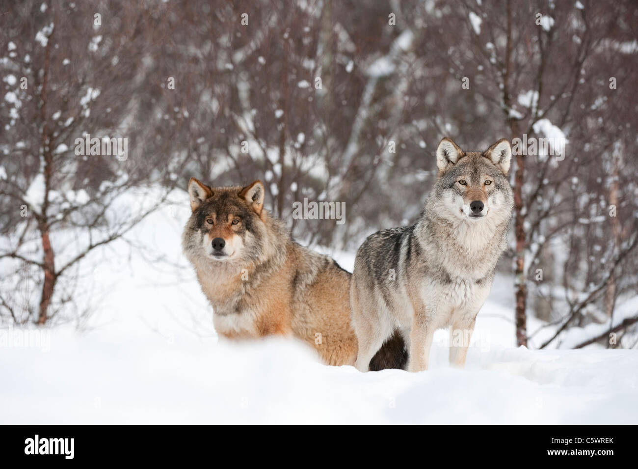 European Grey Wolf (Canis lupus), alpha male and female in winter (taken in controlled conditions). Norway. - Stock Image