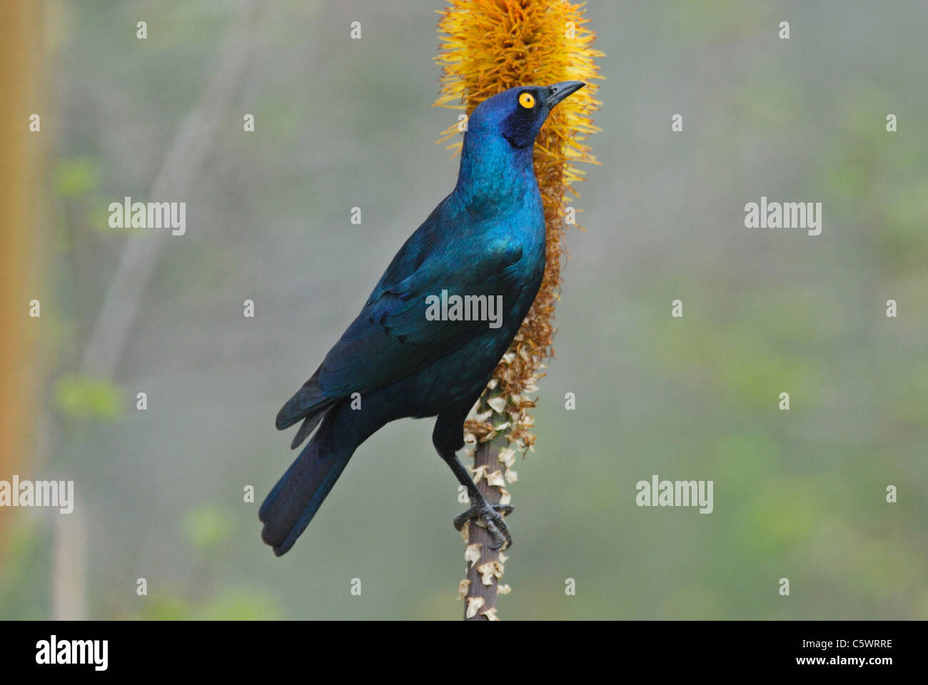 Greater Blue-eared Starling (Lamprotornis chalybaeus) in Kruger National Park, South Africa. July 2010. - Stock Image