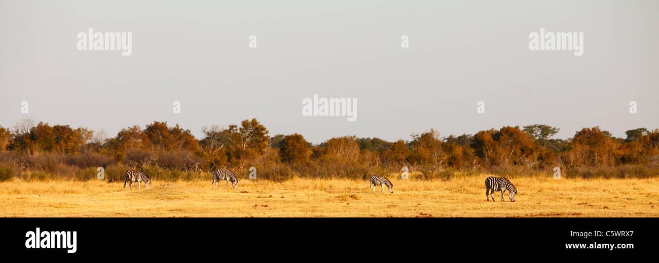 Zebras in Hwange National Park. Zimbabwe Stock Photo