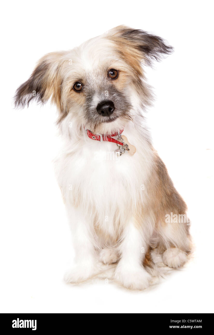 Chinese crested powder puff Single puppy sitting in studio UK - Stock Image
