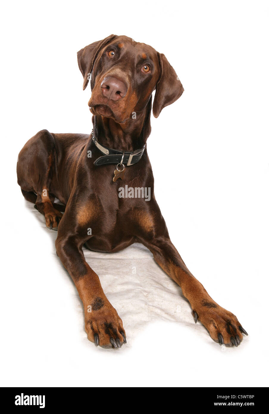Brown Dobermann Single adult laying in studio UK - Stock Image