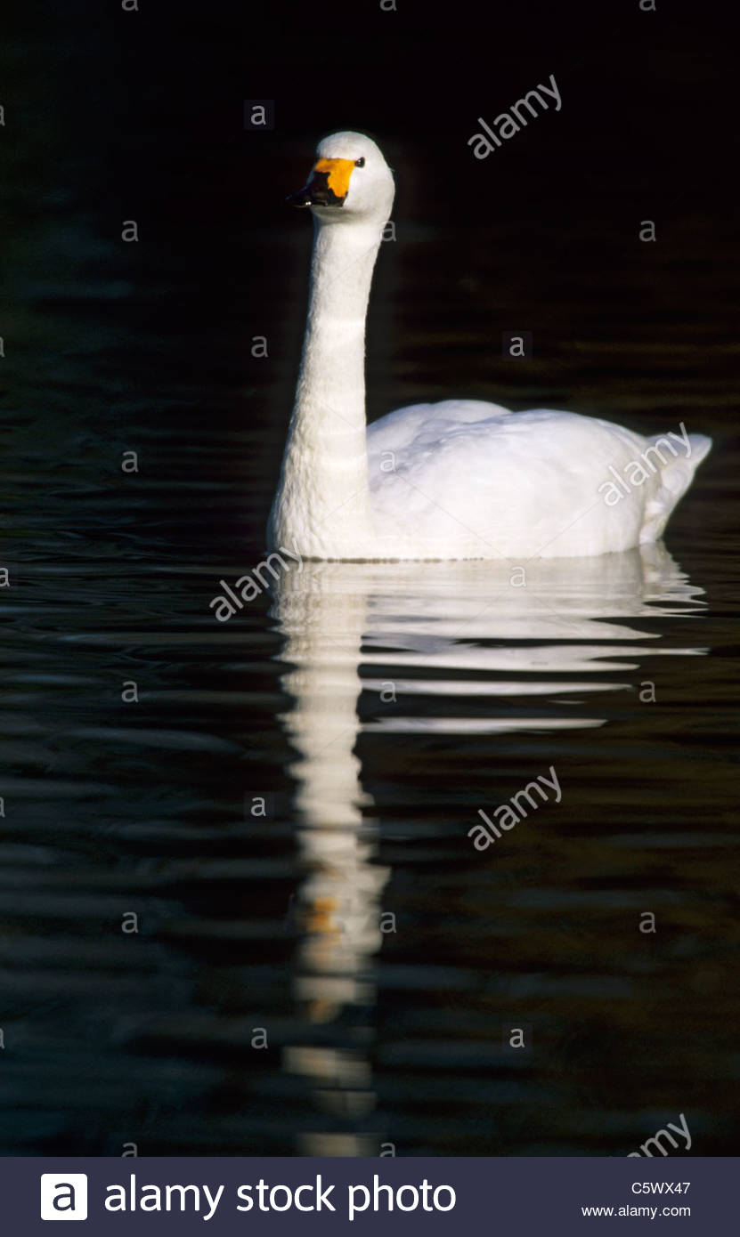 Bewick's Swan Olor columbianus bewickii Slimbridge Gloucester, UK BI003814 Stock Photo