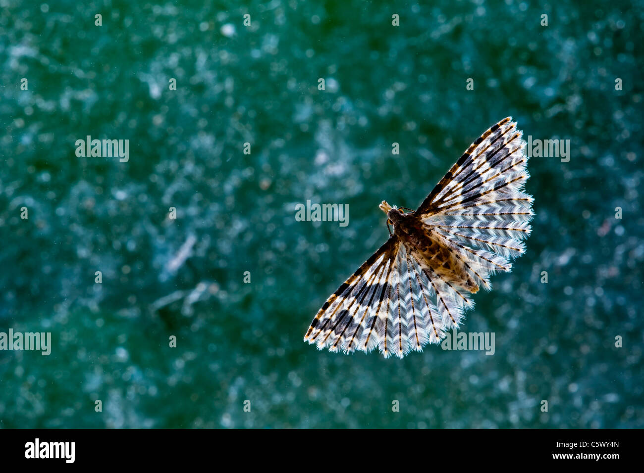 Many Plumed Moth resting on a window - Stock Image