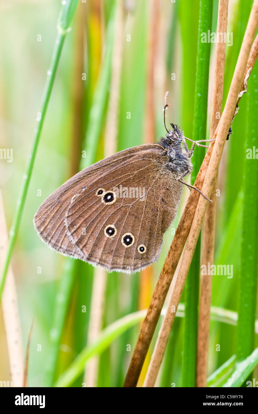Ringlet Butterfly resting amongst soft rush - Stock Image