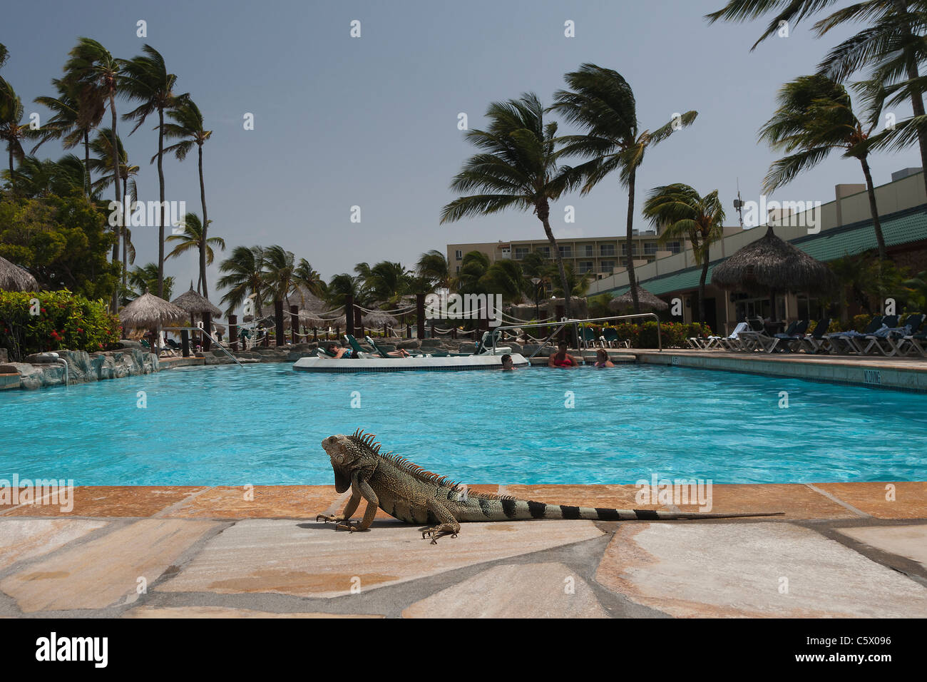 Wild green iguana sat by a swimming pool at the sunspree - Holiday inn hotels with swimming pool ...