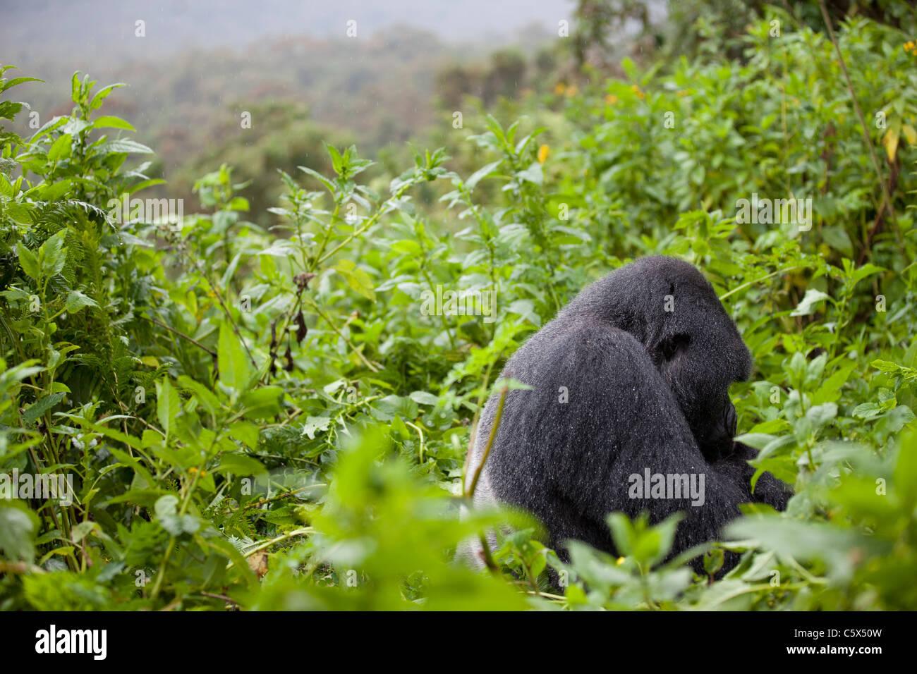 Silverback Gorilla in Rwanda sitting in the rain. - Stock Image