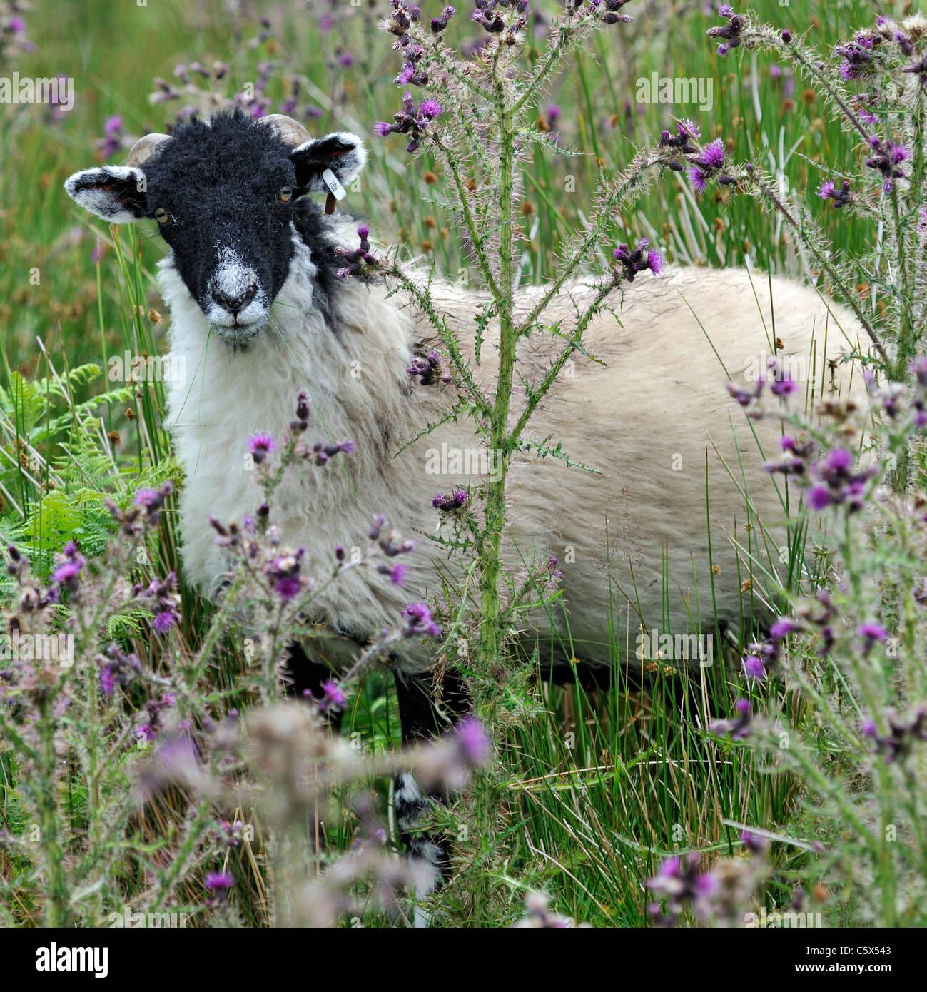 Wary Swaledale sheep amongst thistles, Startindale, Yorkshire, England - Stock Image