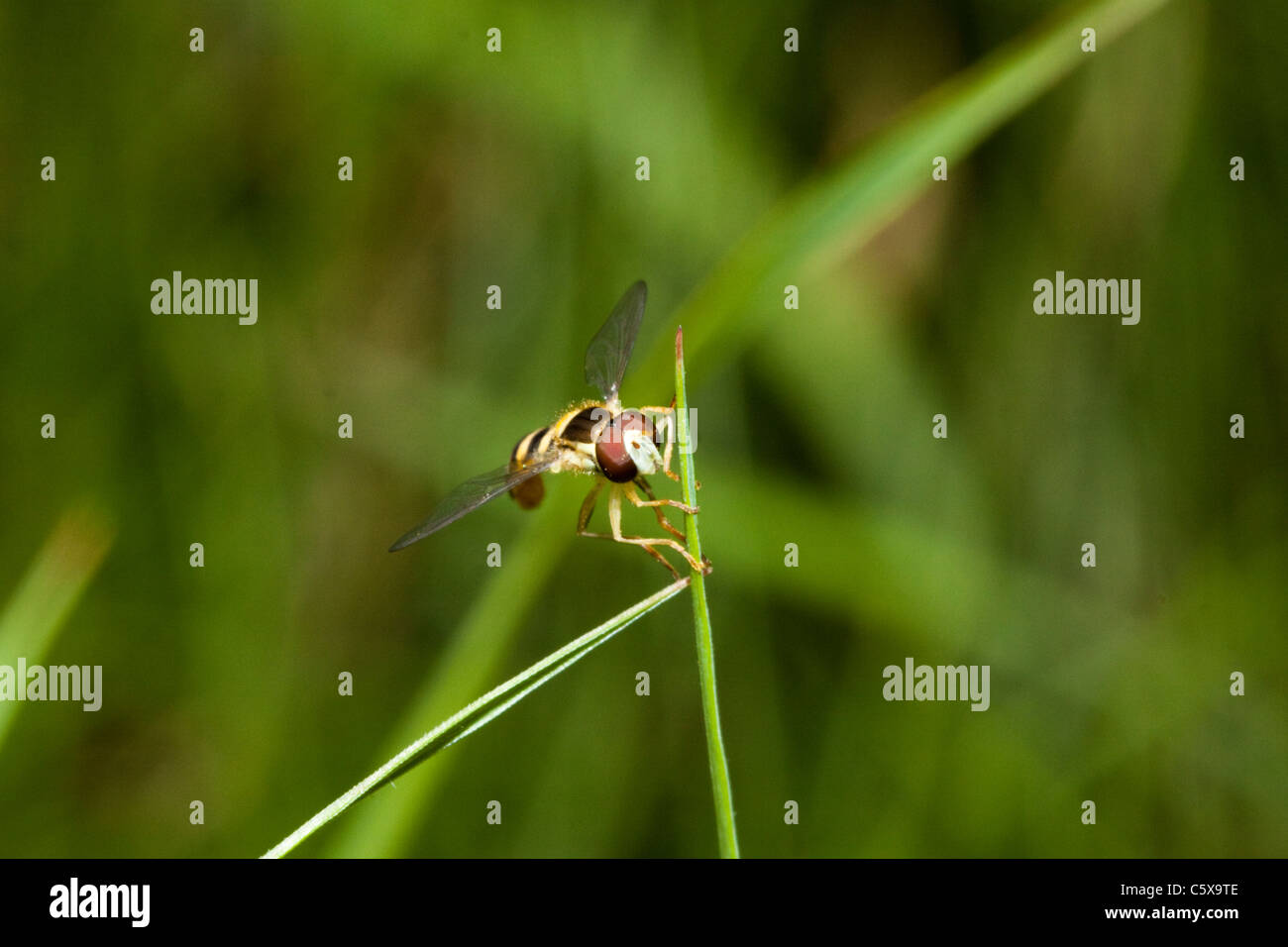Hover fly (hoverfly) garden in Kent, England, UK - Stock Image