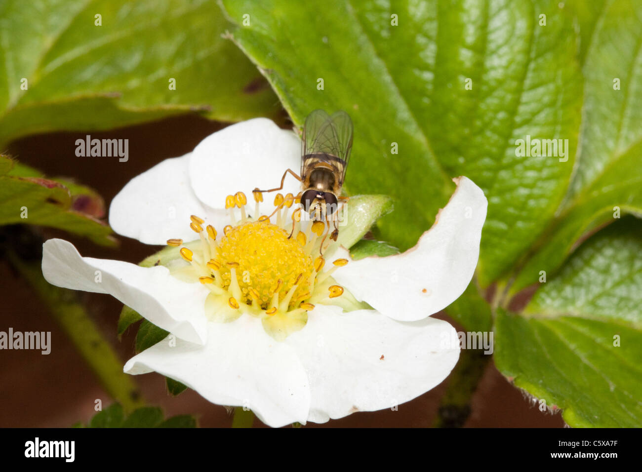 Hover fly (hoverfly) on a strawberry flower, garden in Kent, England, UK - Stock Image