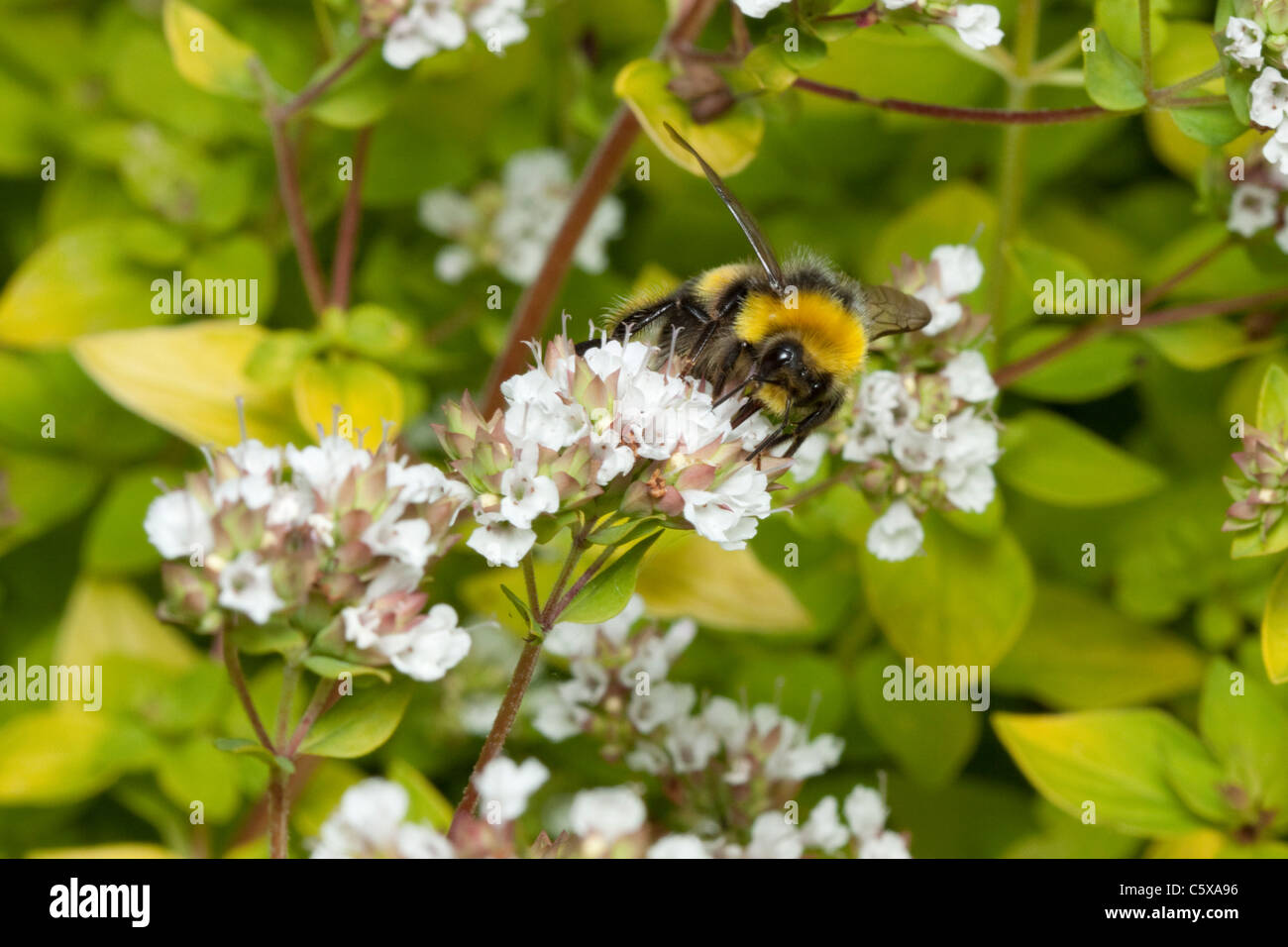 Bumble bee on a marjoram plant in a garden in Kent, England, UK - Stock Image