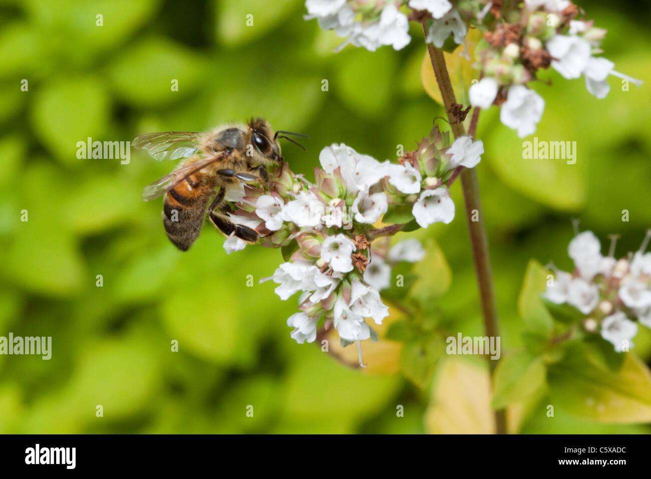 Honey bee on marjoram plant, garden in Kent, England, UK - Stock Image