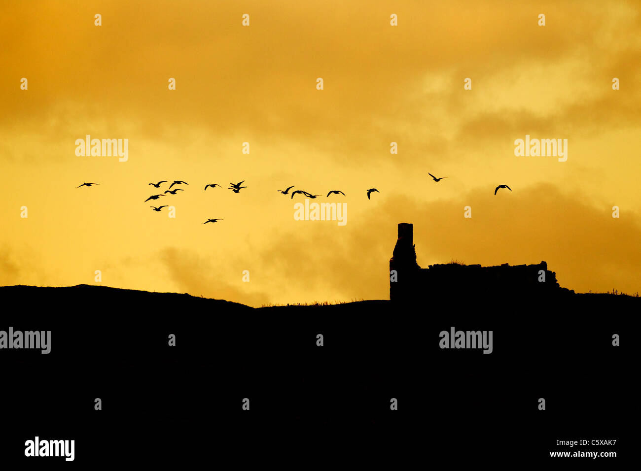 Barnacle Goose - in flight over abandoned croft at dusk Anser leucopsis Islay, Scotland, UK BI020347 - Stock Image