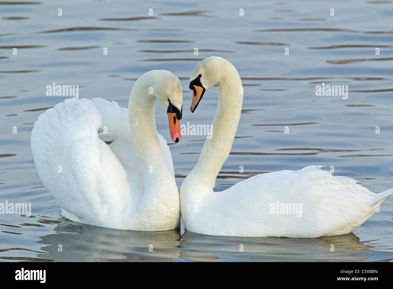 Mute Swan - Courtship display Cygnus olor Caerlaverock WWT BI020628 Stock Photo