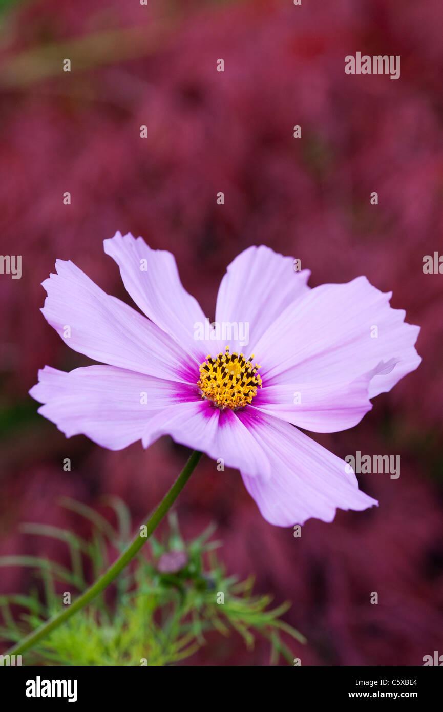 Cosmos bipinnatus flower - Stock Image
