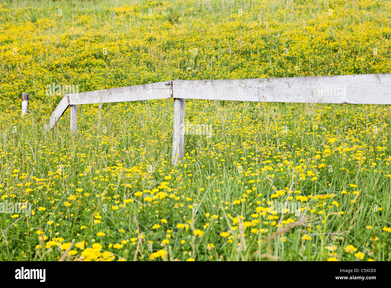 Pasture Field Of Wild Yellow Flowers In Iowa With Old White Fence