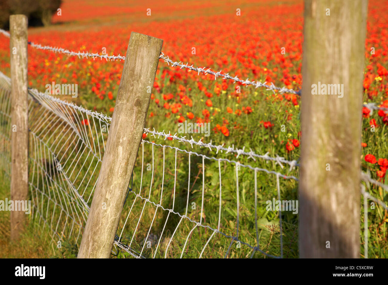 Barbed wire fence alongside red poppy field in October - Stock Image
