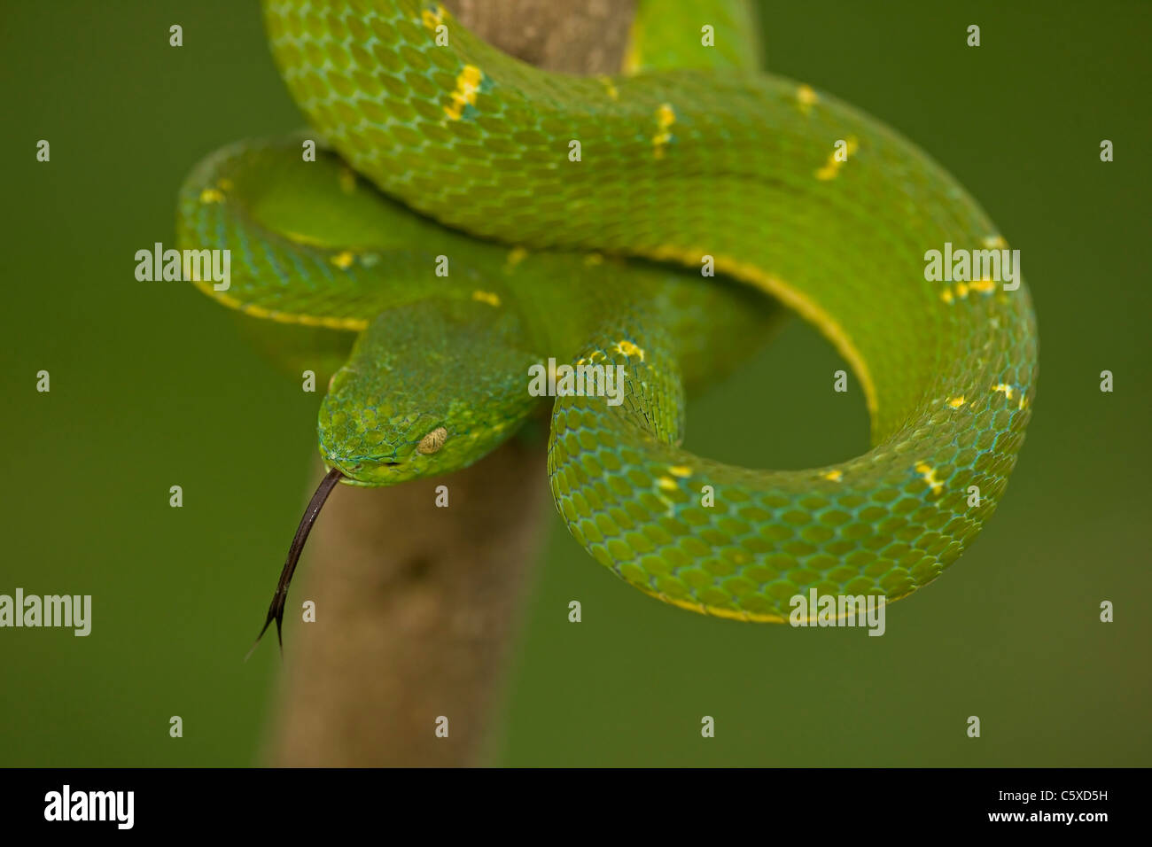 Side-striped Palm-pit viper (Bothriechis lateralis) - Costa Rica - Arboreal - Venomous - Captive - Stock Image