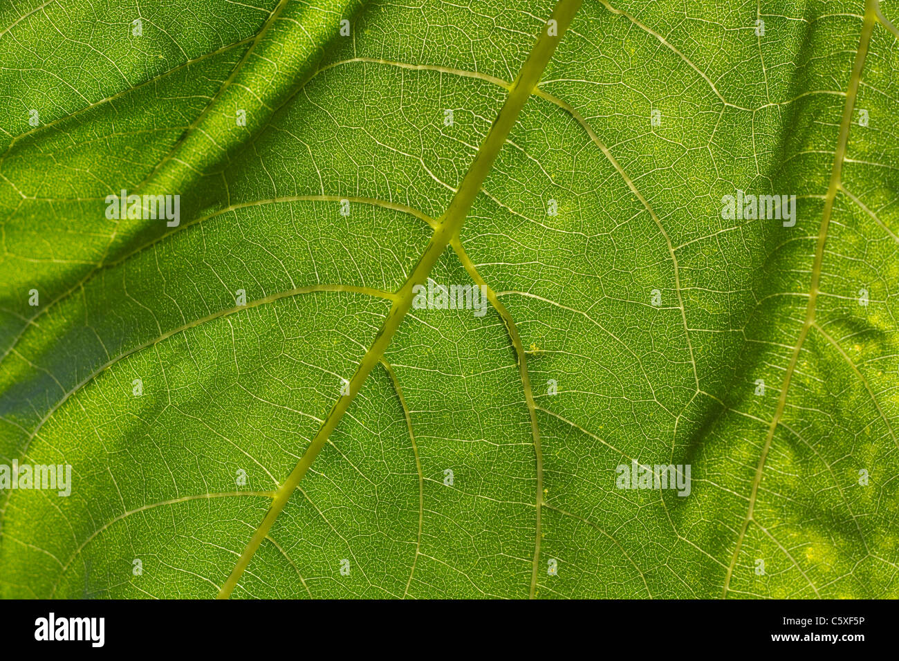 Light shines thorough a leaf of a sunflower plant - Stock Image