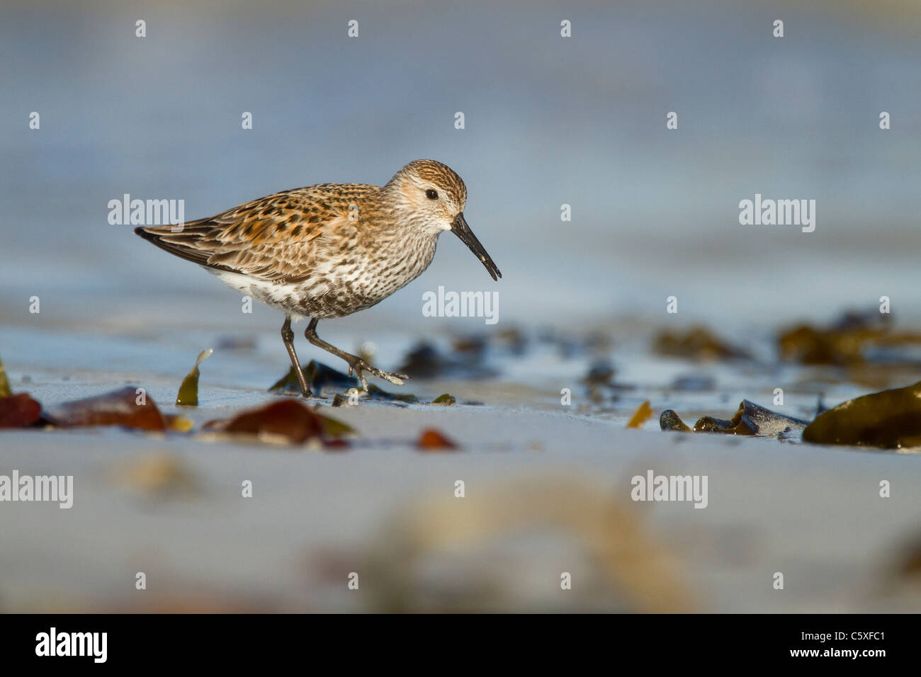 Dunlin, Calidris alpina, feeding in shallow water on beach in Scotland, part of a party of Dunlin migrating through - Stock Image