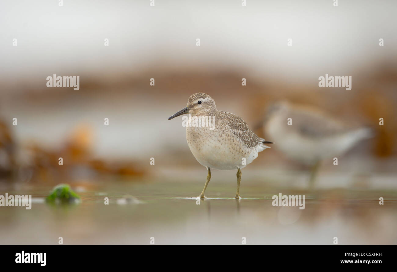 Knot Calidris canutus  A pair of adults foraging among seaweed on a secluded Scottish beach Shetland Islands, Scotland, - Stock Image