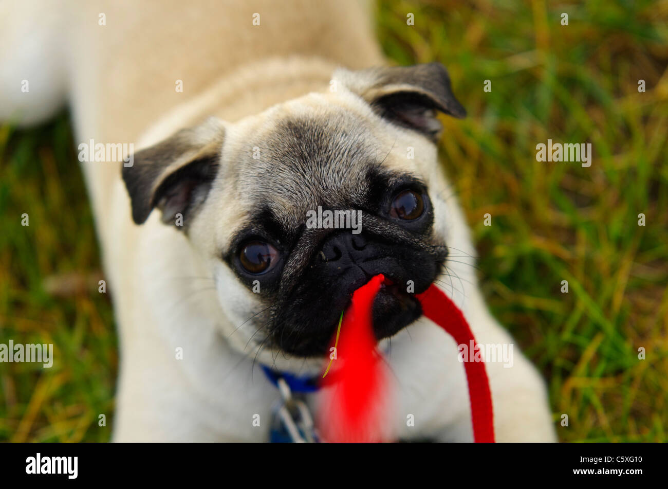 A 36 week old Chinese pug puppy protesting her leash by chewing on it. - Stock Image