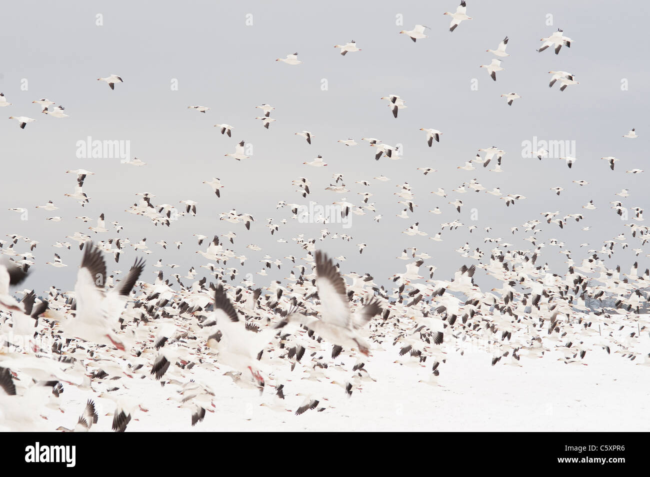 Winter in skagit County during the Snow Geese Migration geese in flight and resting Washington State USA - Stock Image