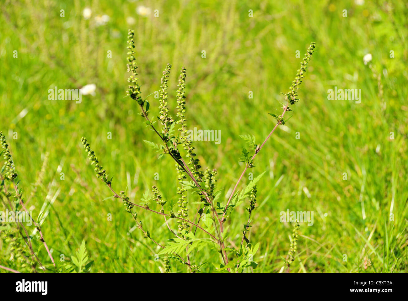 Ambrosia - Common Ragweed 06 Stock Photo