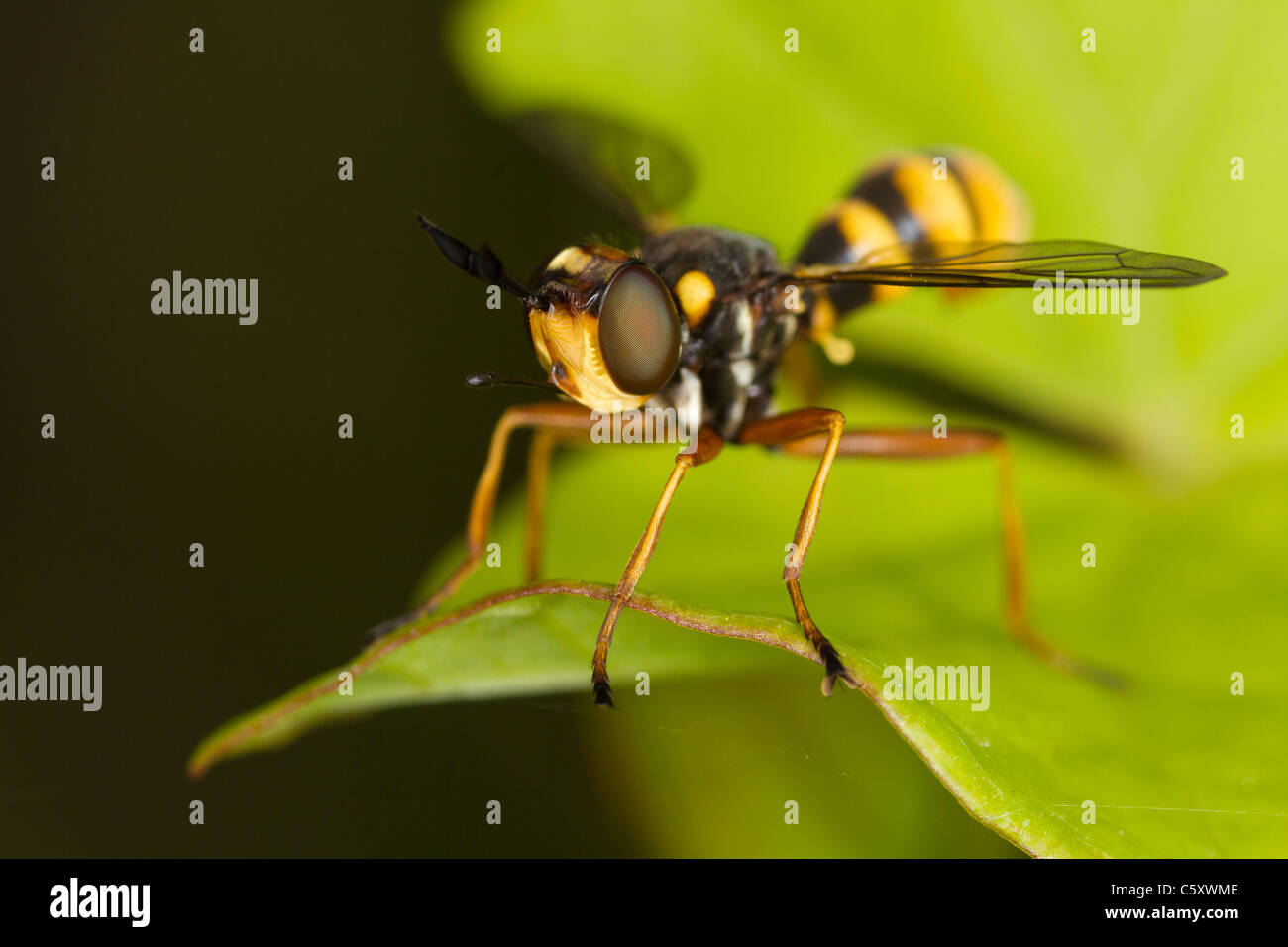 Wasp-mimic bumblebee parasite Conops quadrifasciatus sitting on a leaf - Stock Image