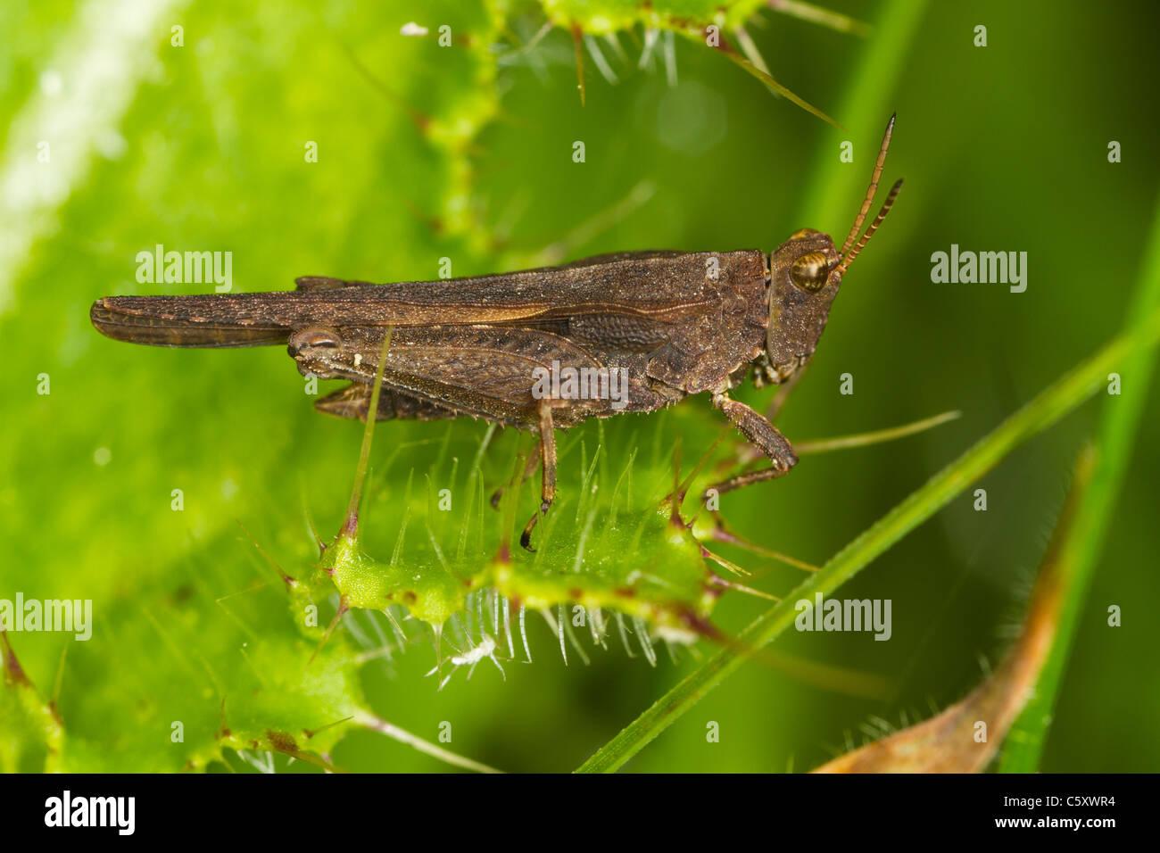 Slender Ground-hopper (Tetrix subulata) sitting on thistle leaf - Stock Image