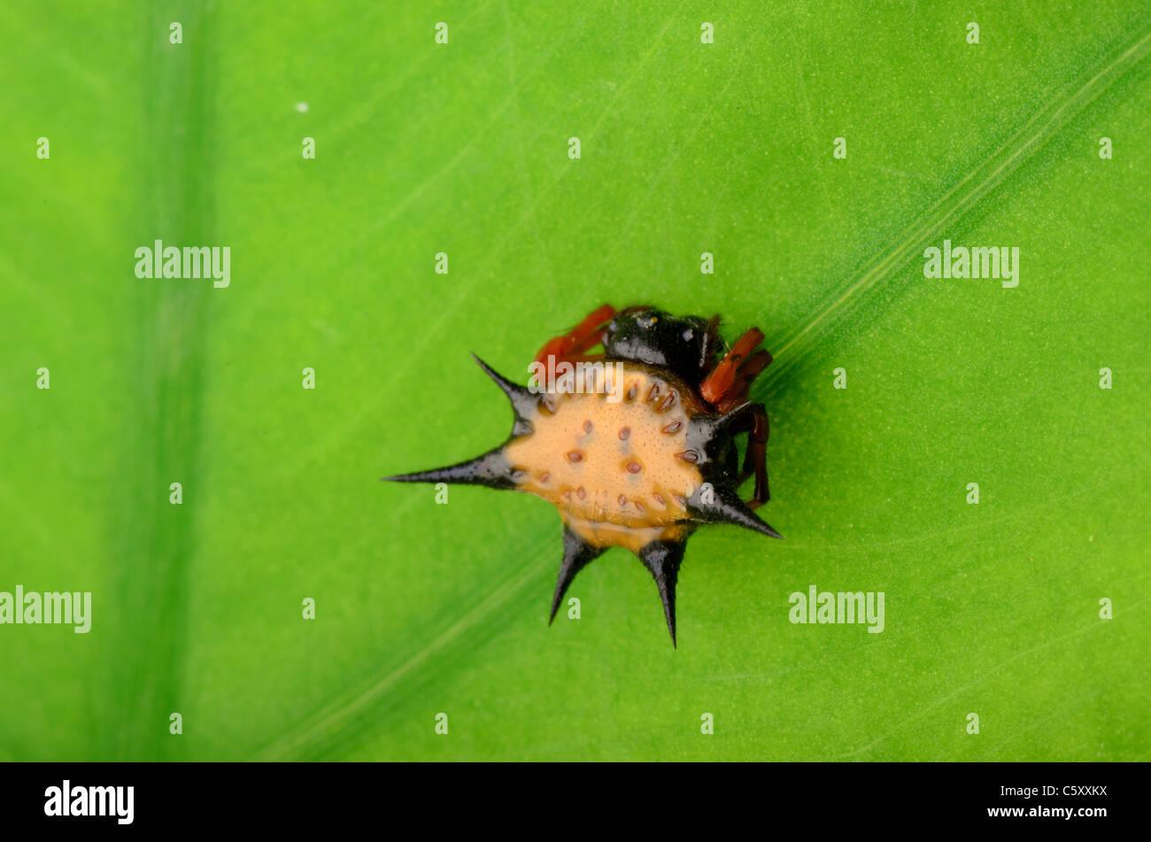 spiny spider spinybacked orbweaver on leaf - Stock Image