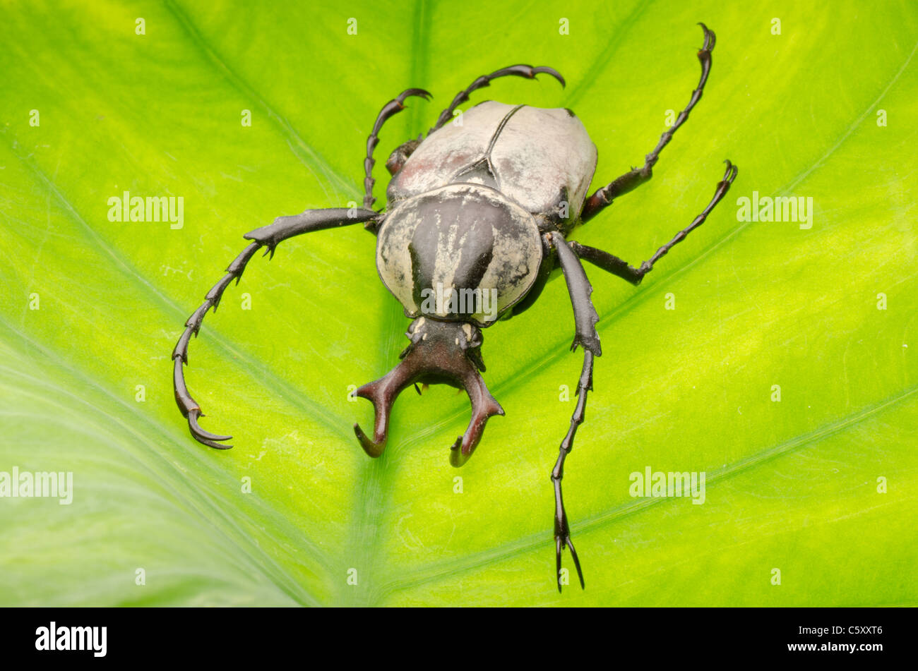 insect hart horn flower beetle dicronocephalus wallichii on leaf - Stock Image
