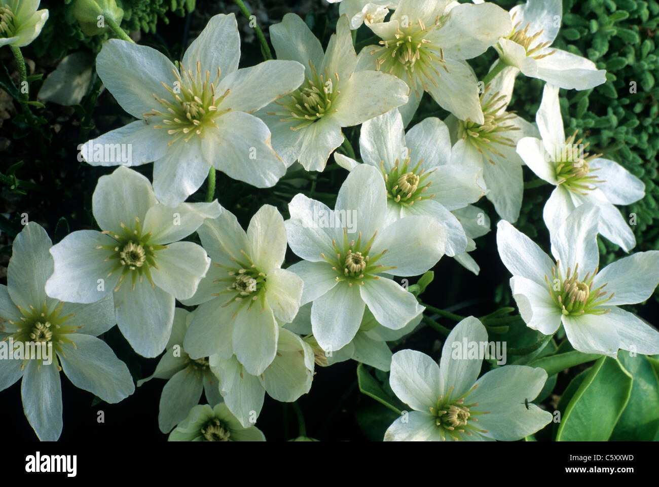Clematis x cartmanii joe white flower flowers climbing plant clematis x cartmanii joe white flower flowers climbing plant garden plants mightylinksfo