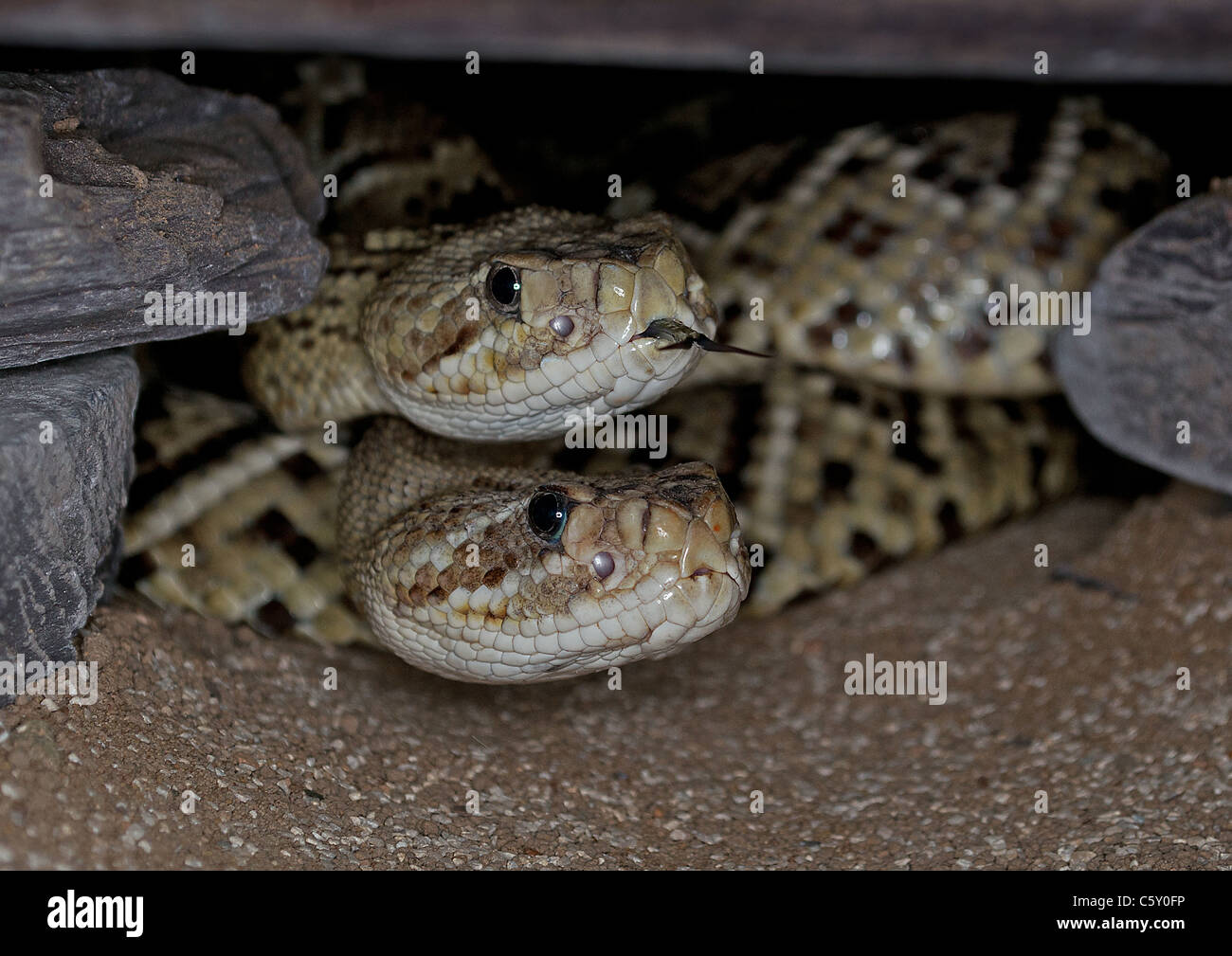 Pair of Green Mexican Rattlesnakes Stock Photo