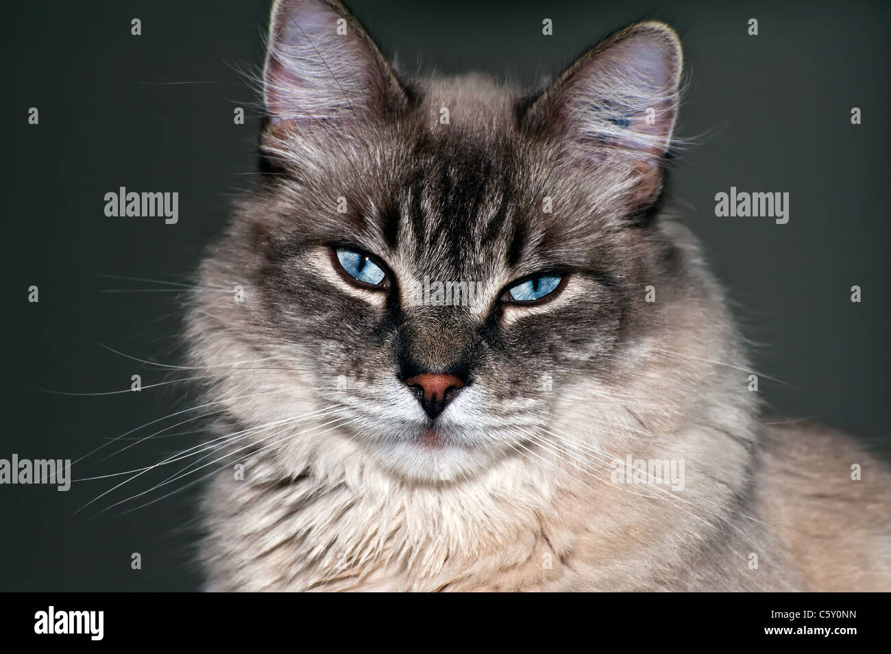 Cute pure breeder cat portrait in studio - Stock Image