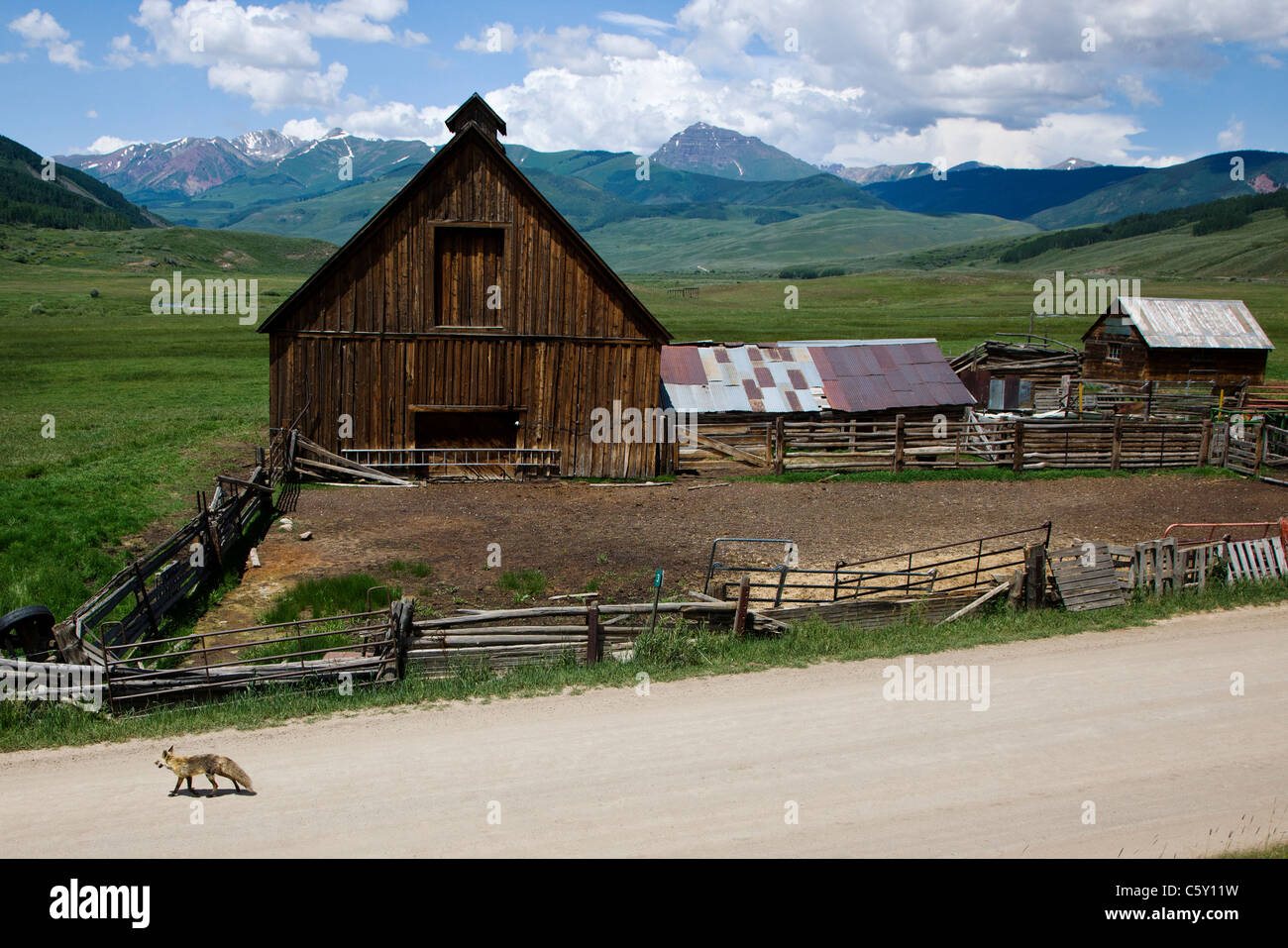 Red fox crosses the road by an old weathered barn on Cold Spring Ranch near Crested Butte, Colorado, USA - Stock Image