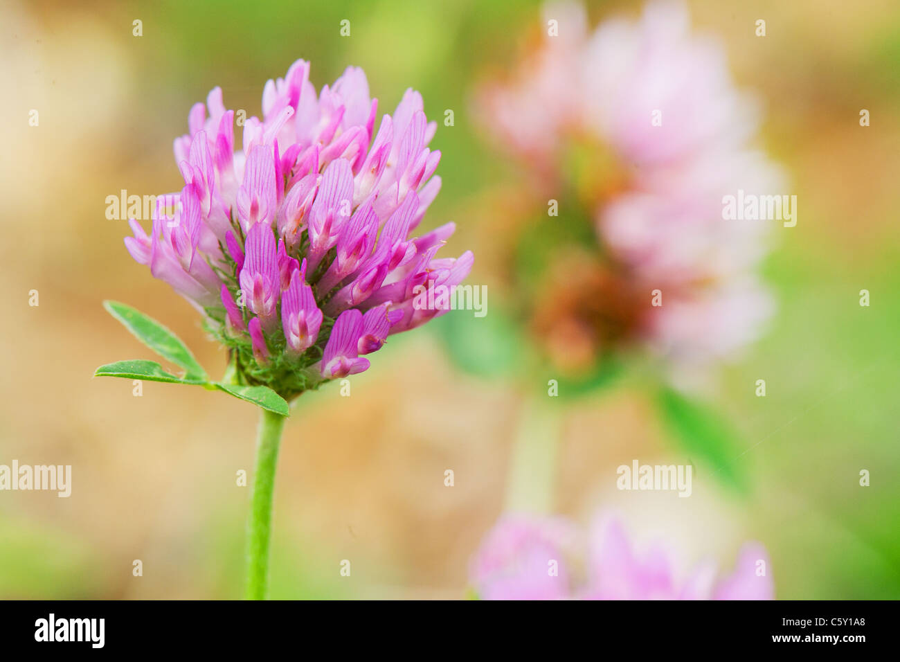 Purple Clover Flower In Nature Environment Outdoor Stock Photo