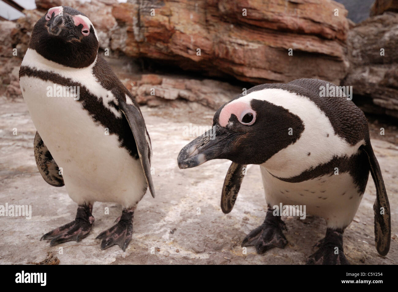 African (Jackass) penguins (Spheniscus demersus), Betty's Bay, South Africa - Stock Image