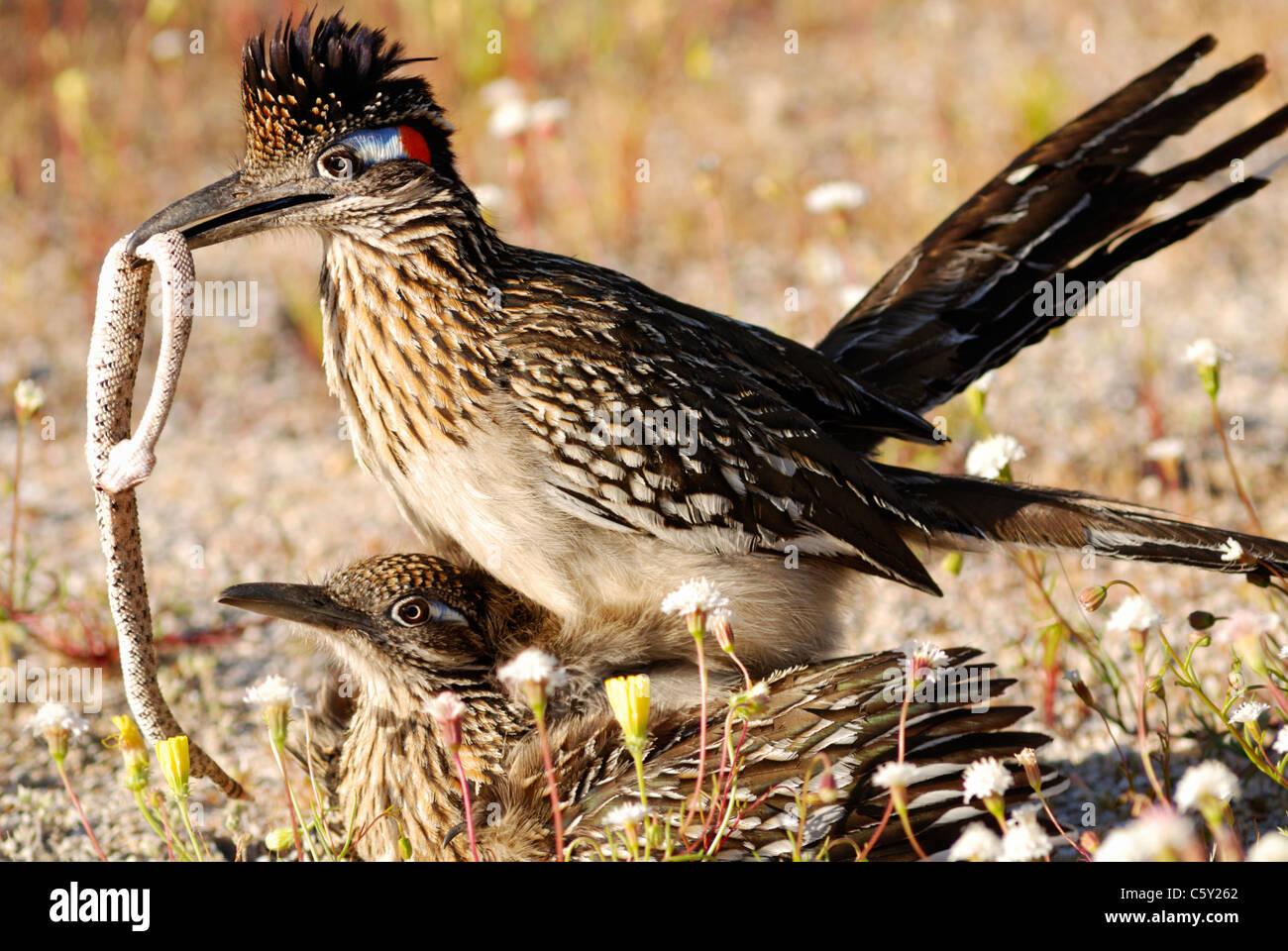 Greater roadrunner (Geococcyx californianus) mating, Anza-Borrego desert state park, California, USA - Stock Image