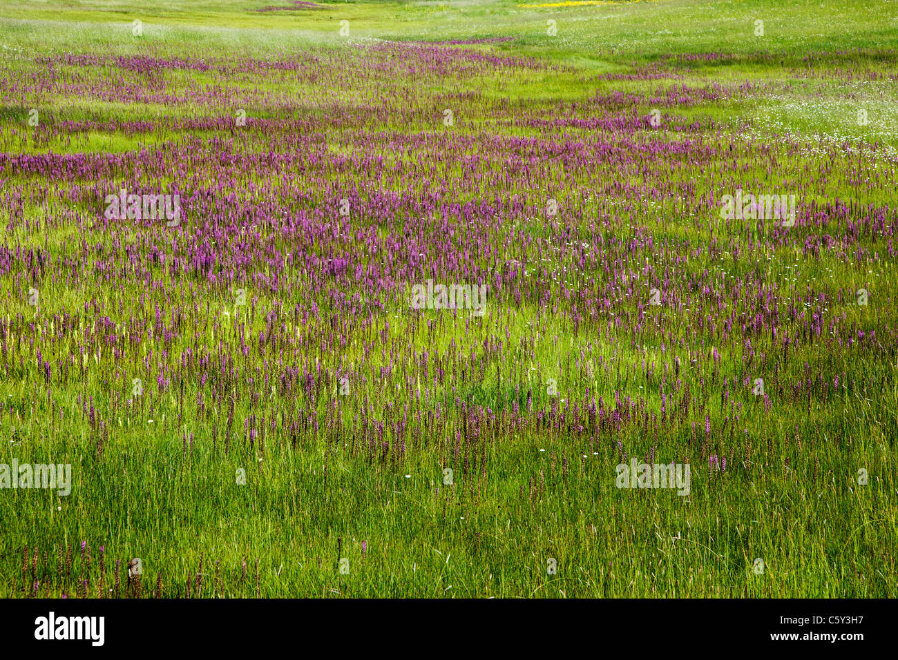 Pedicularis groenlandica; Elephant Heads; Scrophulariaceae; Snapdragon Family wildflowers at the foot of Crested - Stock Image