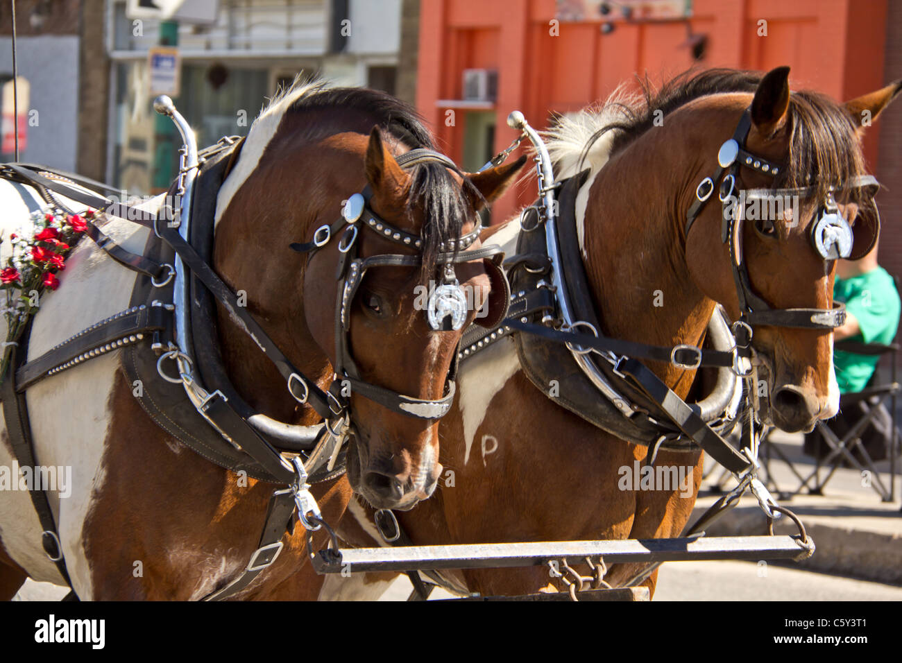 Two horses pulling a carriage at the 2011 Queen City Ex Parade in Regina, Saskatchewan - Stock Image