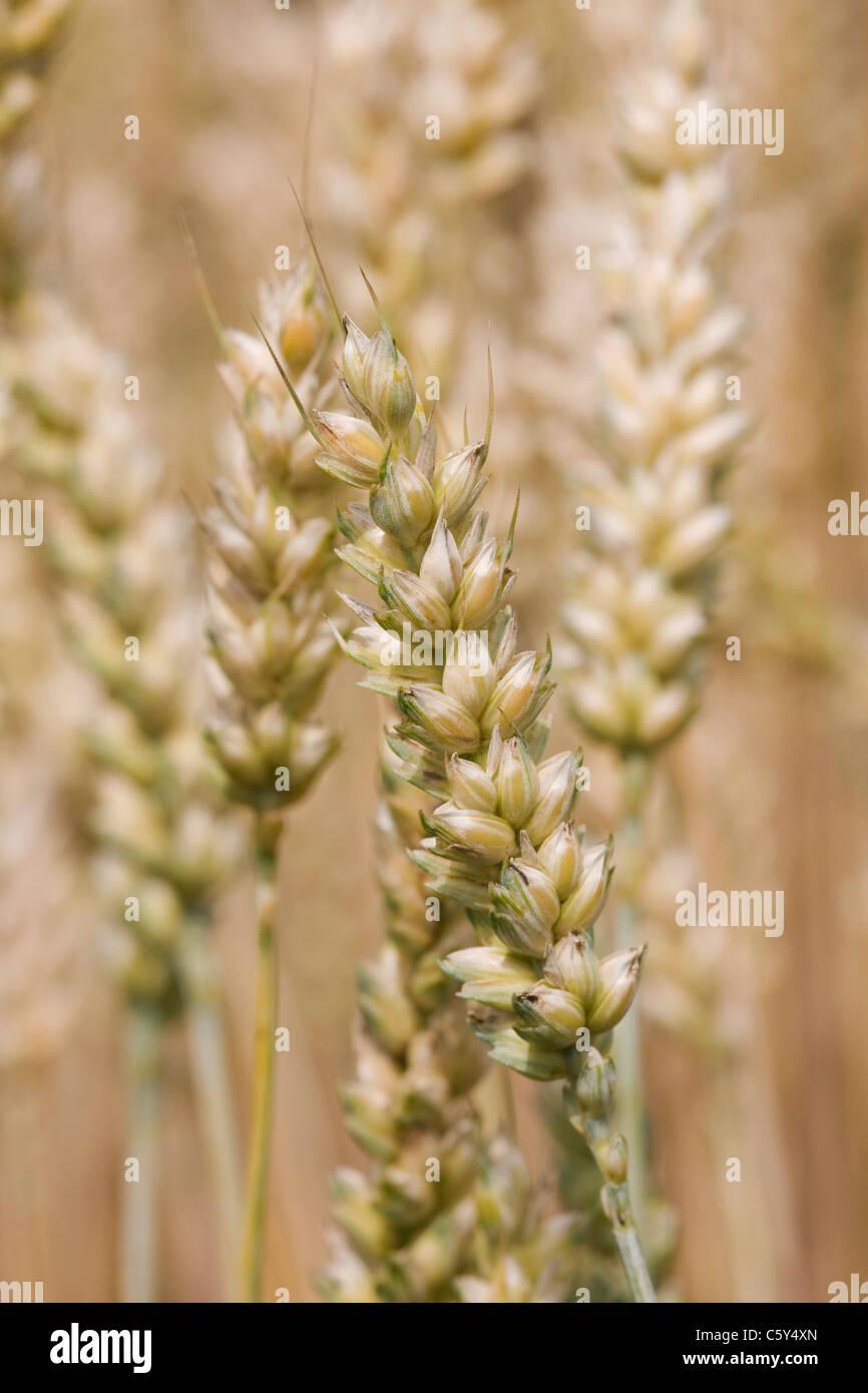 Triticum aestivum . Bread Wheat ripening in a field - Stock Image