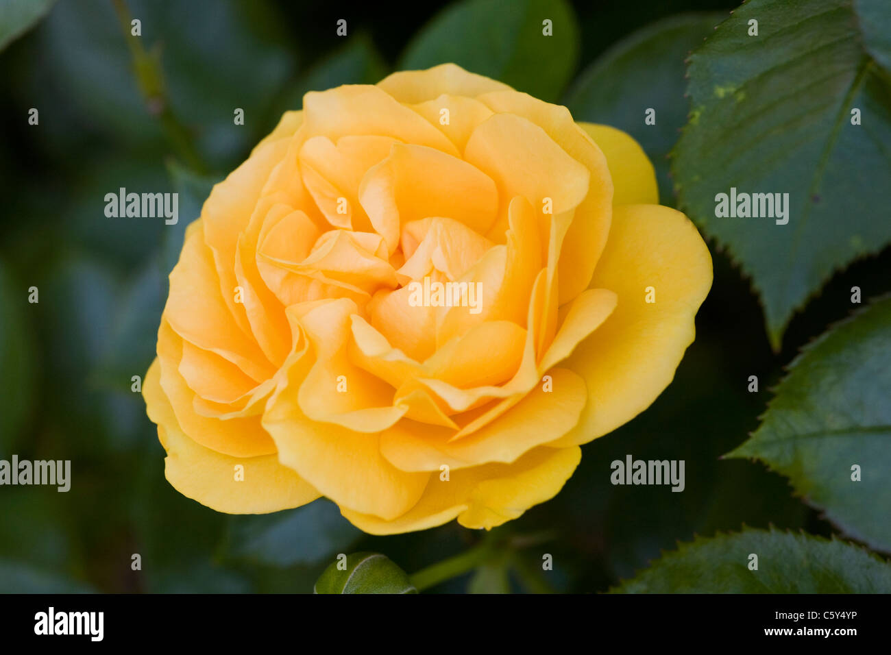 Rosa 'Absolutely Fabulous' (Wekvossutono) . Golden yellow rose in an English garden. - Stock Image