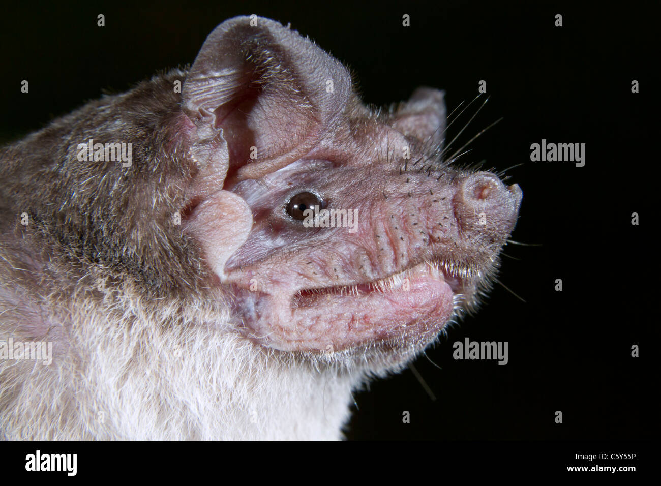 Angolan free-tailed bat (Mops condylurus) portrait, DR Congo. - Stock Image